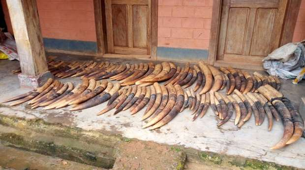 A total of 200kg of ivory was seized in Cameroon