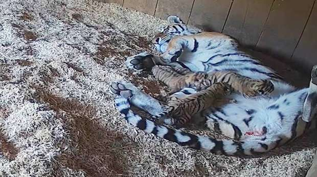 Naya and Amur tiger cubs at ZSL Whipsnade Zoo