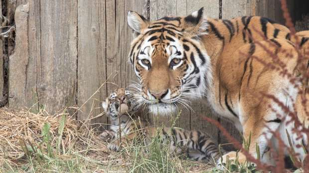 Naya and one of her cubs outside