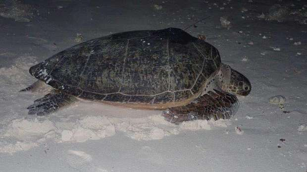 Satellite tagged turtle released. DG, BIOT. Nicole Esteban