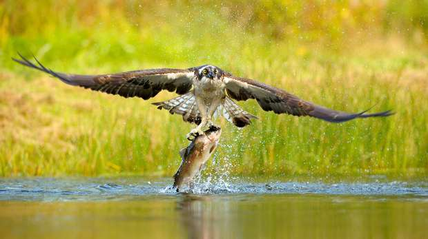 Osprey catching fish