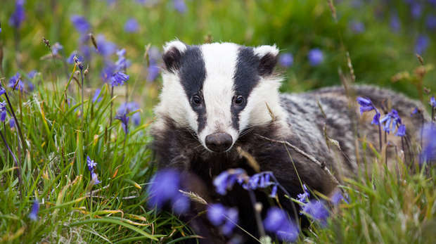 Badger lying in field of flowers