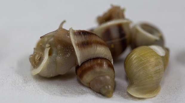 Collections of Partula snails for release