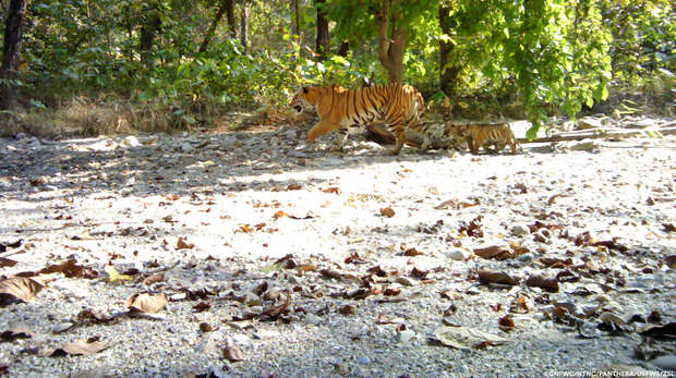 Mother tiger with 2 cubs walking past camera trap