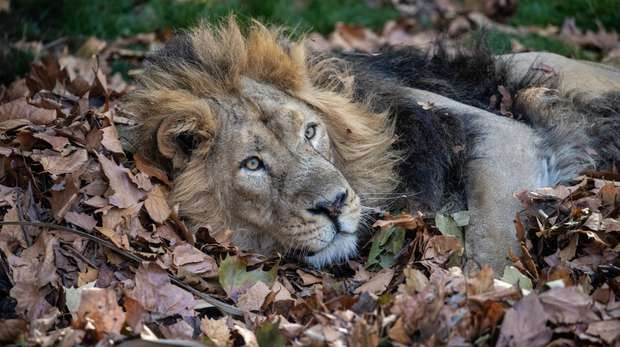 Asiatic lion Bhanu in a mountain of fallen leaves at ZSL London Zoo