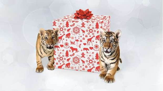 Tiger cubs with Christmas presents at ZSL Whipsnade Zoo