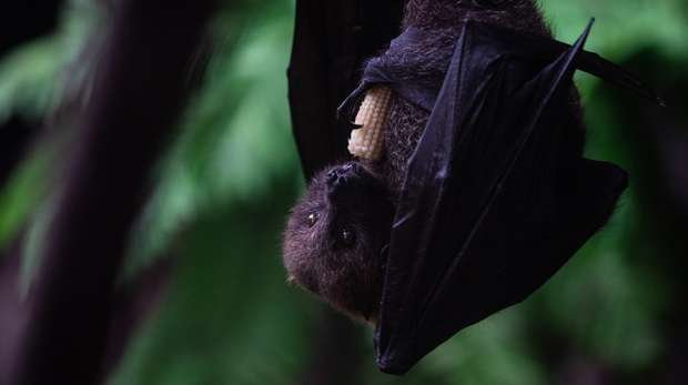 Rodrigues fruit bat at ZSL London Zoo