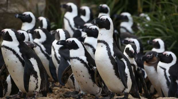 A group of African penguins at ZSL Whipsnade Zoo