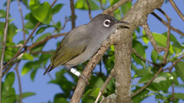 Mauritius olive white-eye sat on a branch