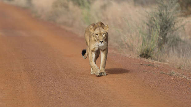 West African lion walking along a dirt track