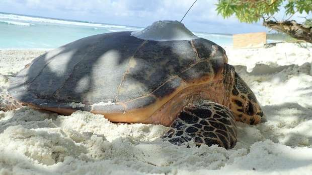 Hawksbill turtle asleep in the sand