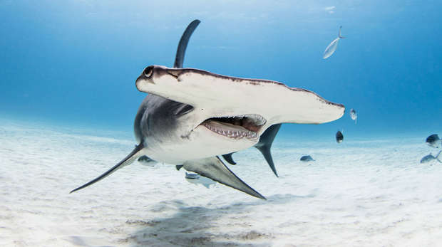 Hammerhead Shark in bimini on sandy bottom with mouth open