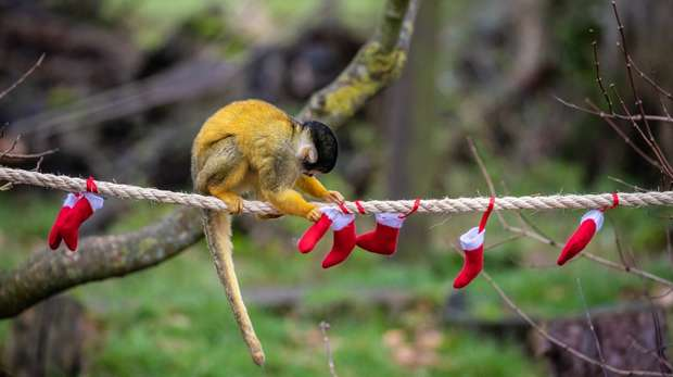 Our cheeky squirrel monkeys delved into their own Christmas stockings