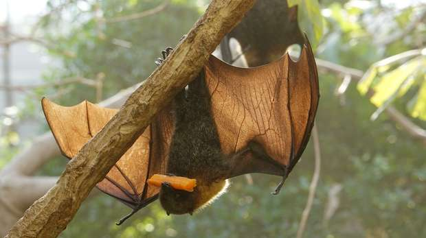 A Rodrigues fruit bat in Rainforest Life