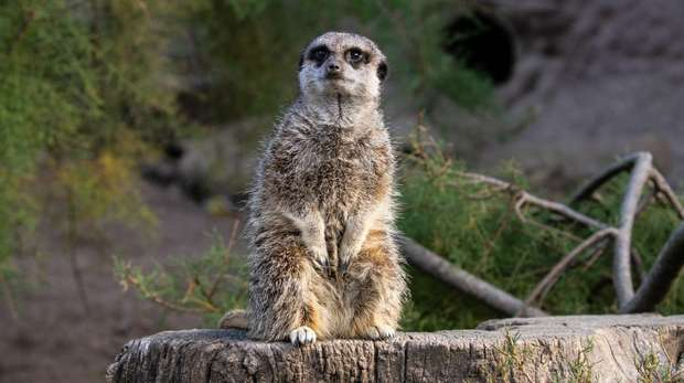 A meerkat at ZSL London Zoo