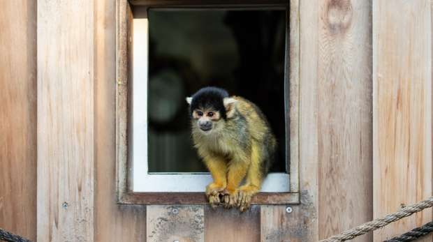 A squirrel monkey at ZSL London Zoo