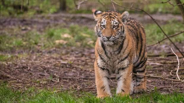 Six month old Amur tiger cub at ZSL Whipsnade Zoo