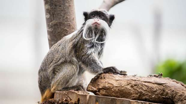 An emperor tamarin in Rainforest Life