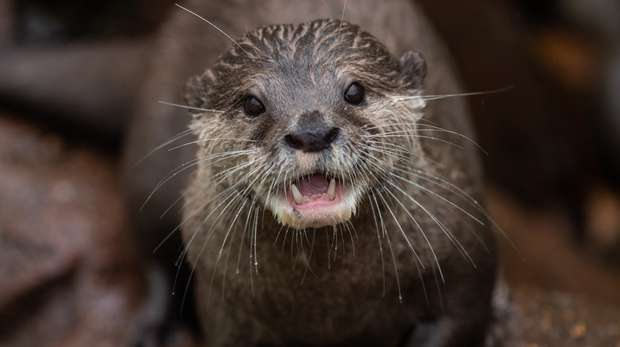 An otter at ZSL London Zoo