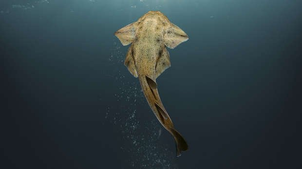 Angelshark swimming in the depths