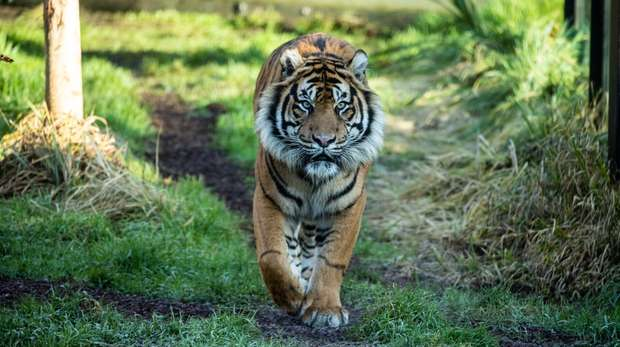 Asim the Sumatran tiger makes his debut at ZSL London Zoo