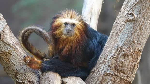 Bandit our golden-headed lion tamarin
