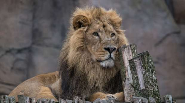 Bhanu the Asiatic lion at ZSL London Zoo