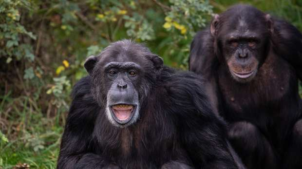 Chimps at ZSL Whipsnade Zoo