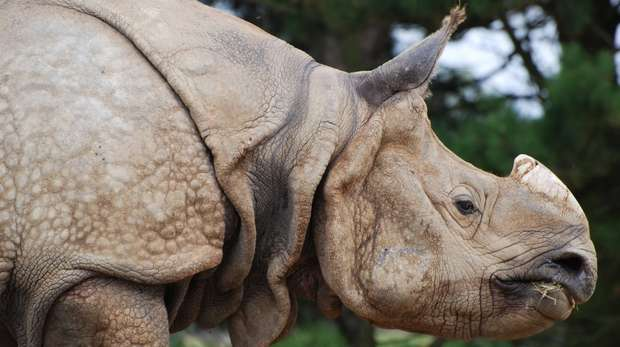 Greater one horned rhino at ZSL Whipsnade Zoo