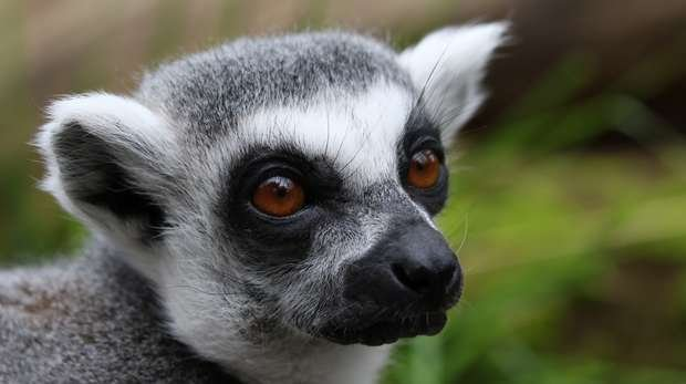 Lemur at ZSL London Zoo