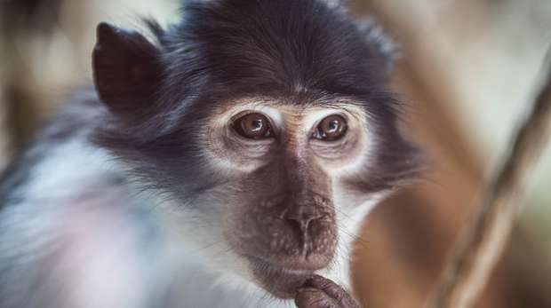 A mangabey at ZSL London Zoo