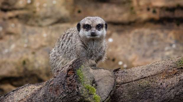 Meerkat at ZSL London Zoo