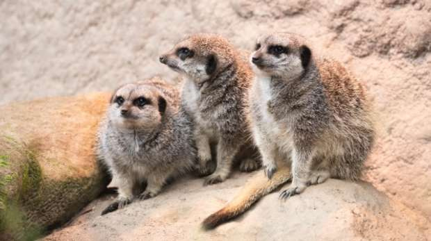 Meerkats at ZSL London Zoo