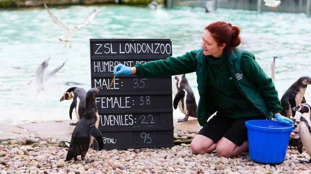 Humboldt penguins are counted in the annual stocktake