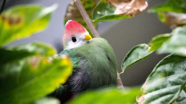 A red-crested turaco at ZSL London Zoo