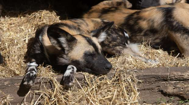 A sleepy African hunting dog
