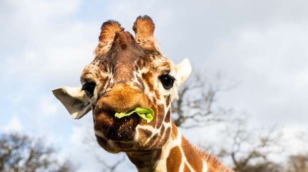Nuru the giraffe enjoys her birthday treat at ZSL Whipsnade Zoo