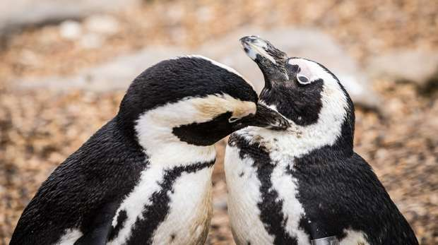 Two African penguins at ZSL Whipsnade Zoo