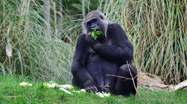 Effie eating at ZSL London Zoo