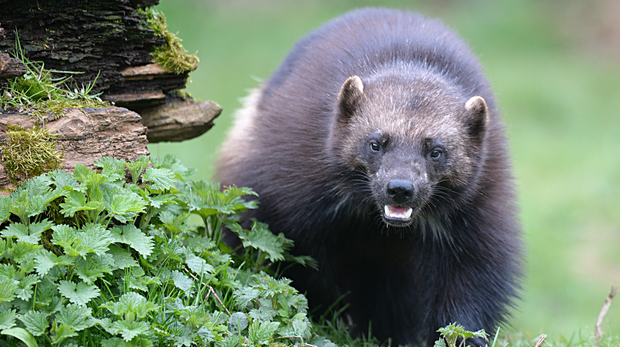Fi our female wolverine at ZSL Whipsnade Zoo