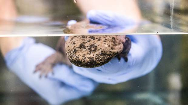 A Chinese giant salamander arrives at ZSL London Zoo