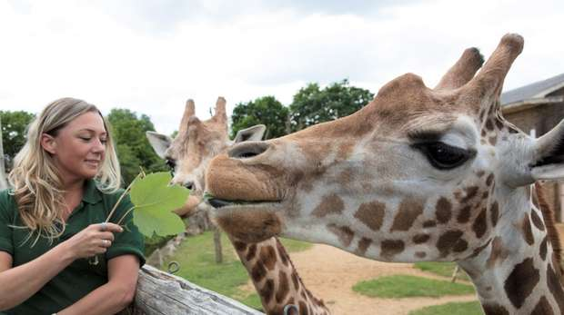 Feeding the giraffes at ZSL London Zoo