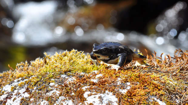 Photograph of a toad sat on a mossy rock