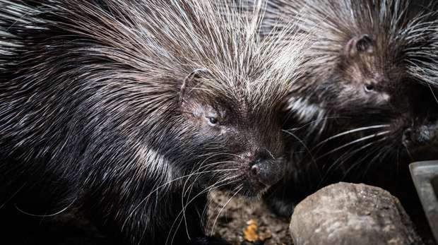Porcupines at ZSL London Zoo