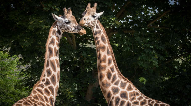 Portrait of two giraffes LZ 1.jpg