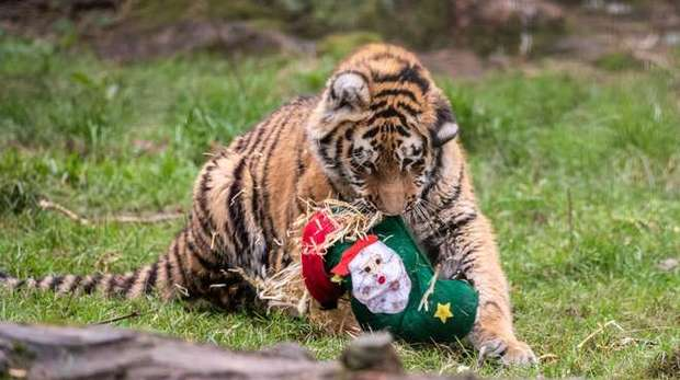 Cub with Christmas Cracker