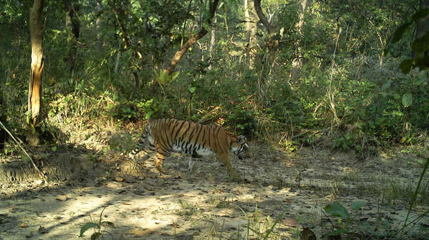 Camera trap image of an adult tigress