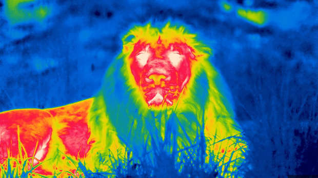 male lion under infrared camera