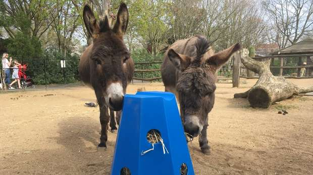 Donkeys Clyde and Acer at ZSL London Zoo