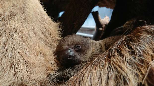 Elio the baby sloth at ZSL London Zoo
